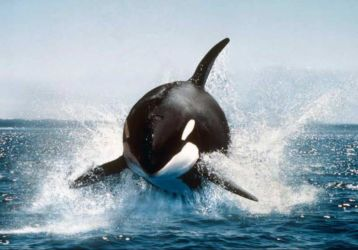 Orca (Orcinus orca) making a spectacular leap