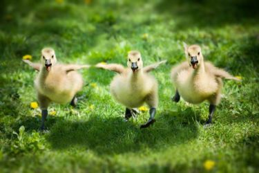 Some very excited ducklings - family Anatidae