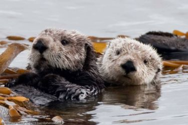 Resting pair of sea otters - Enhydra ultras