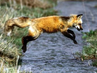Leaping red fox - Vulpes vulpes