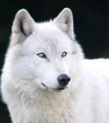 White wolf - Canis lupus