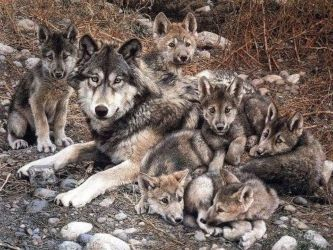 A wolf and her pups - Canis lupus