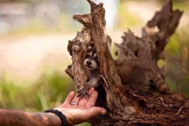 Infant raccoon (Procyon lotor) makes a new friend