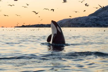 An orca (Orcinus orca) takes a breath of the evening air.
