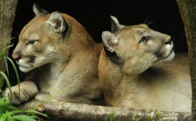 Comfortable pair of cougars (Puma concolor)