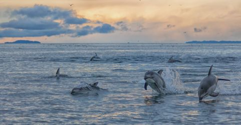 A pod of Pacific white-sided dolphins (Lagenorhynchus obliquions) frolic at dusk