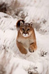 Vougar (Puma concolor) on the prowl
