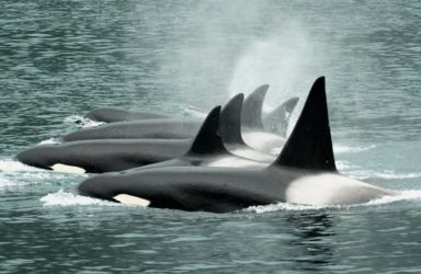 Pod of orcas (Orcinus orca)