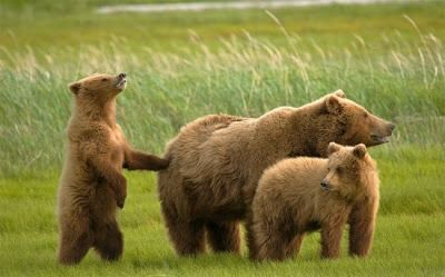 A family of brown bears (Ursus arctic) enjoys some social time