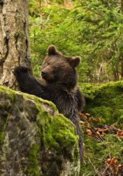 A brown bear (Ursus arctus) marks his territory by clawing a tree.