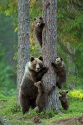 A family of brown bears (Ursus arctic) enjoys some arboreal social time