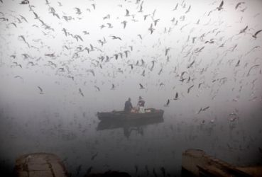 Fishermen surrounded by a flock of gulls (genus  Larus) on a foggy morning.