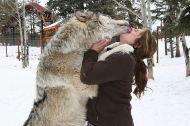 A very friendly wolf (Canis lupus)