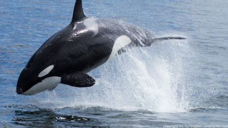 Orca whale leaping - Orcinus orca