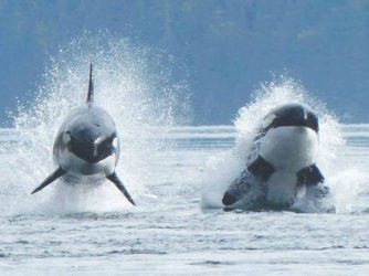 Leaping pair of orcas - Orcinus orca